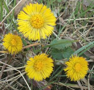 Coltsfoot009
